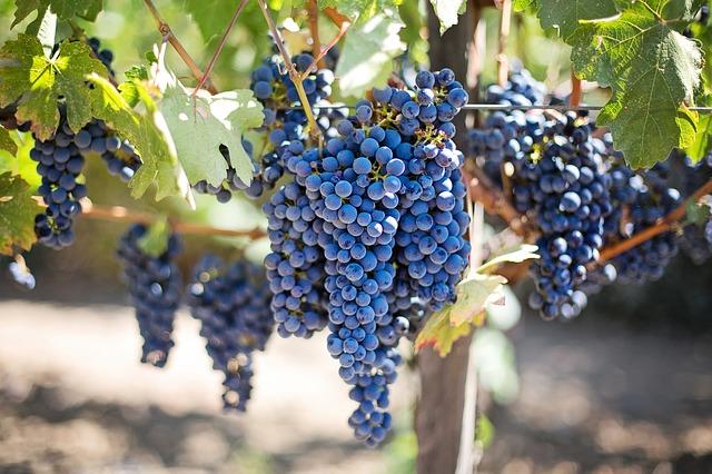 Vinice s modrou vinou révou